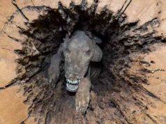 caine mumificat in copac
