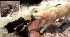câine şi-a salvat prietenul