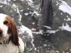 caine salveaza delfin