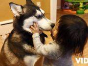 husky si copil video