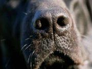 de ce au cainii mirosul dezvoltat