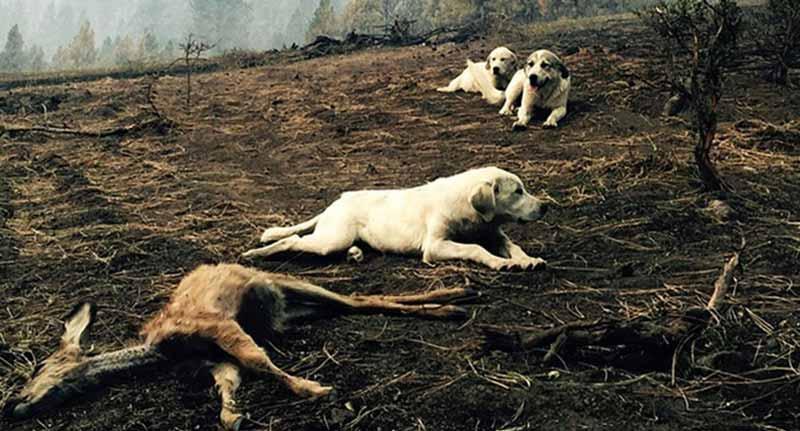 câini care apără căprioarele
