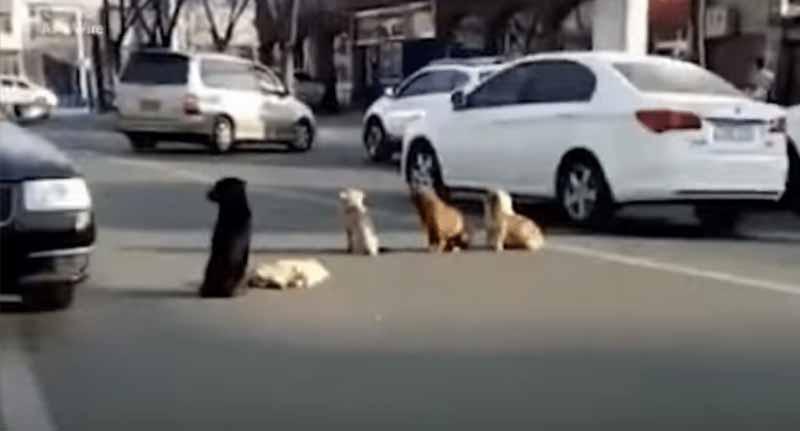 câini opresc traficul