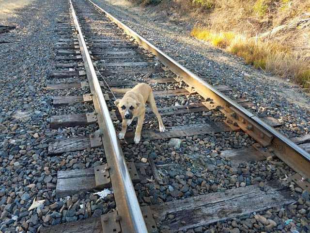 câine legat de calea ferată