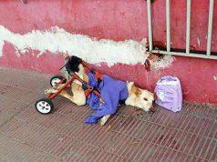 câine paralizat a fost abandonat