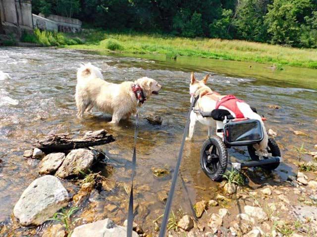 caine paralizat adoptat