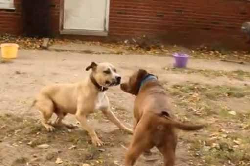 câini de luptă