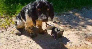câine cu o greutate legată