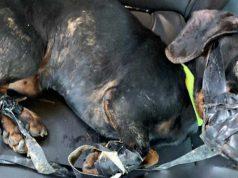 câine legat cu bandă izolatoare