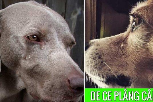 de ce plâng câinii