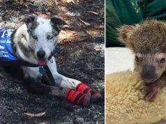 câine a salvat un pui de koala