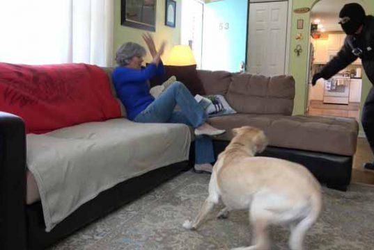 pitbull i-a salvat viaţa stapânei